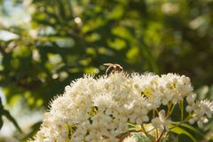 A bee on a white flower in the sunlight. stock images