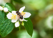 Bee on white flower Royalty Free Stock Photography