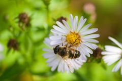 Bee on a White Flower Royalty Free Stock Image