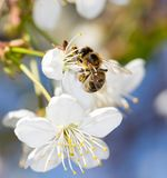 Bee on a white flower on a tree Stock Photography