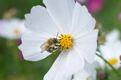 Bee on white flower with yellow center stock images