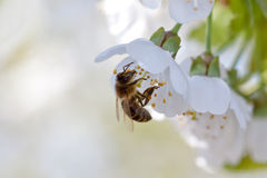Bee and White flowers royalty free stock images