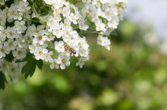 Bee on white flowers Stock Images
