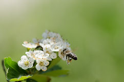 Bee on white flowers Stock Photo