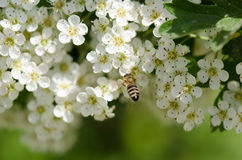 Bee on white flowers Royalty Free Stock Image