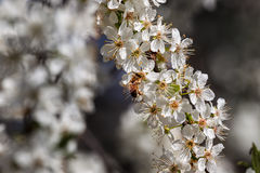 Bee on white flowers collecting pollen. Bee collects pollen from white flowers on flowering tree royalty free stock photography