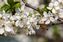 Bee and white flowers in spring. Stock Image