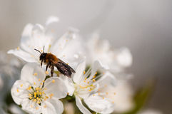 Bee on the white flowers Stock Images