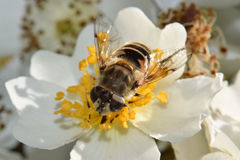 Bee in White royalty free stock photos
