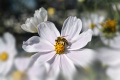 Bee on white garden cosmos. Summer, bee on white garden cosmos stock photo