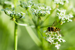 A bee on a white hemlock flower Stock Image