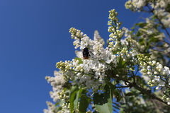 Bee on white lilac blooming flower Royalty Free Stock Photos