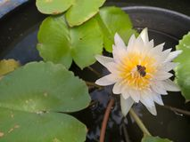 Bee on white lotus flower Stock Photos