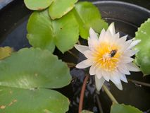 Bee on white lotus flower Royalty Free Stock Photo