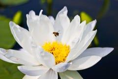 Bee on White lotus (Gigantea Albert de Lestang) with Yellow Stam. Lotus farm, Symbol of Buddhism Stock Image