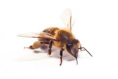 Bee on white Stock Image