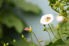 The bee and the white morning glory Stock Photos