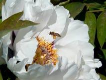 Bee and white peony Royalty Free Stock Photos