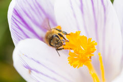 Bee on a white purple striped crocus Royalty Free Stock Image