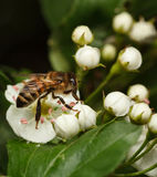Bee on white thorn flowers Stock Photo