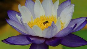 Bee in white water lily. The clip of bee in yellow carpel of purple water lily. Photo taken on January 2015 stock video footage