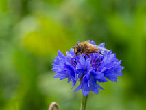 Bee on wild blue flower Royalty Free Stock Images