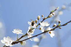 Bee on a Wild Cherry Flowers Royalty Free Stock Photography