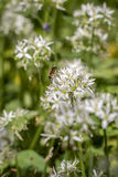 Bee on wild garlic flower Stock Image