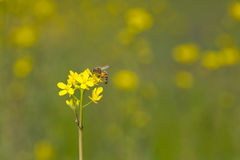 Bee on Wild Mustard Royalty Free Stock Images
