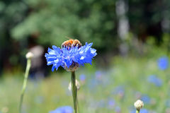 Bee on Wildflower Stock Images