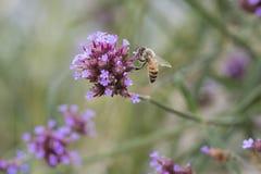 Bee on wildflower Stock Image
