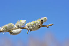 Bee on willow. Royalty Free Stock Photo