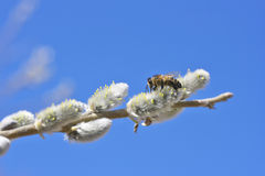 Bee on willow. Royalty Free Stock Image