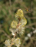 Bee and willow twig with flowers. South Bohemia, Czech Republic Royalty Free Stock Photo