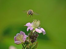 Bee. Winging over the flower of the field Royalty Free Stock Photos