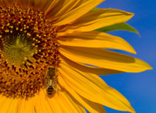 Bee Wings Glisten. A honeybee on a sunflower with the sun shining on it's wings royalty free stock photos