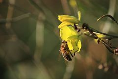 Bee on a winter cress. Yellow flower on dark background. stock photos