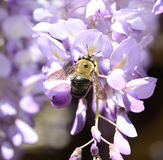 Bee on Wisteria Royalty Free Stock Images