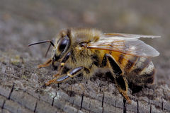 Bee and wood. Little bee in a piece of wood stock photography