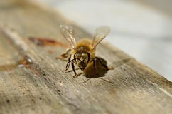 Bee on wood Stock Photos