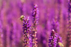 Bee on a woodland sage Royalty Free Stock Photos