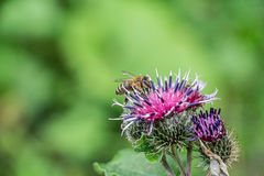 Bee on wooly burdock. Macro close-up of honey bee sitting on flower of wooly burdock Stock Photography