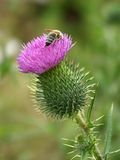 Bee at work royalty free stock photos