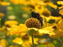 Bee at work. Bee pollening a yellow flower Royalty Free Stock Photography