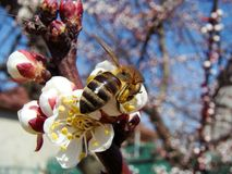 Bee at work. Bright spring day.  A bee collects nectar on the flowers of apricot Stock Images