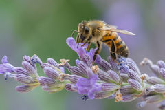 Bee at work on lavender Stock Images