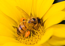Bee at work again. Bee on a yellow gazania flower, gathering pollen Stock Image