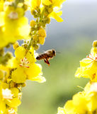 Bee at work on blossoms on sunny day. Royalty Free Stock Photo