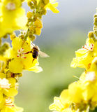 Bee at work on blossoms on sunny day. Royalty Free Stock Image