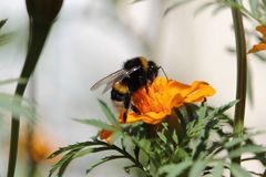 Bee at work, Bumblebee at work 4 Stock Photography